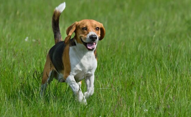 Beagle – pies nie dla każdego